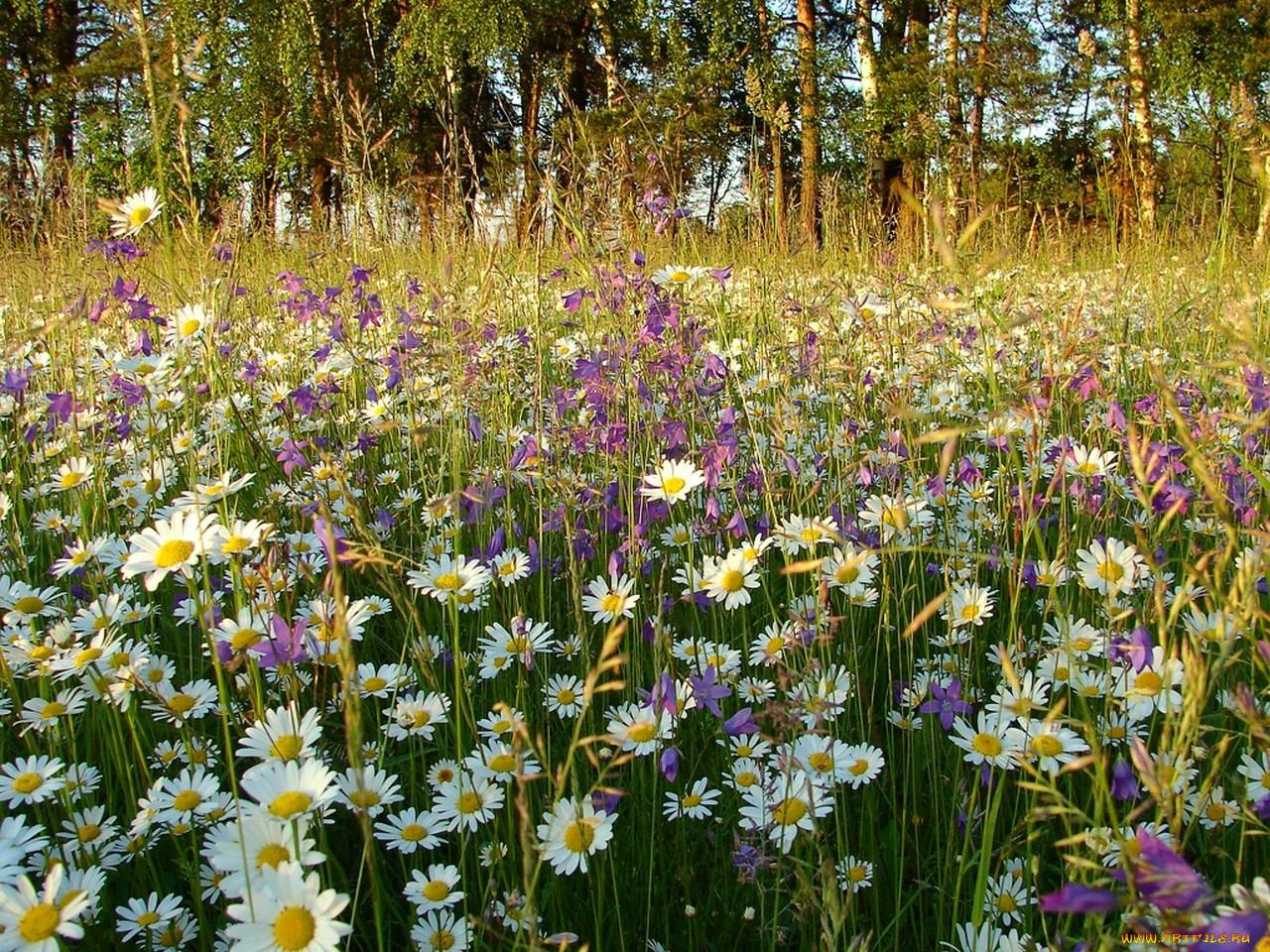 Цветы луговые с картинками